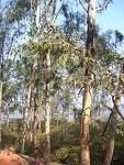עצי גומי ישנים כמקור לאנרגיה
